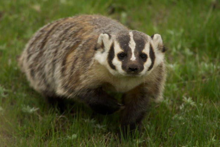 Badger falls through michigan homes ceiling panic ensues