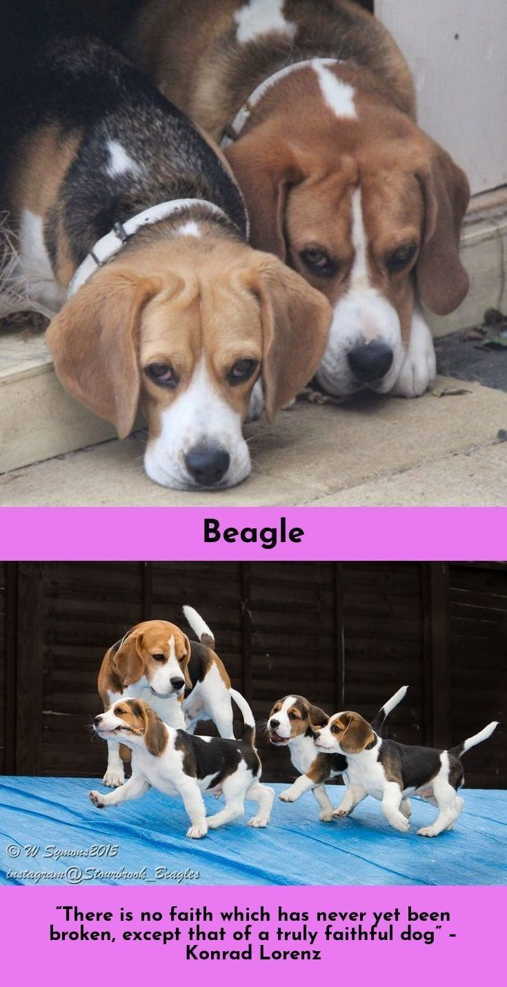 Find More Information On Beagles Beagles Check The Webpage To