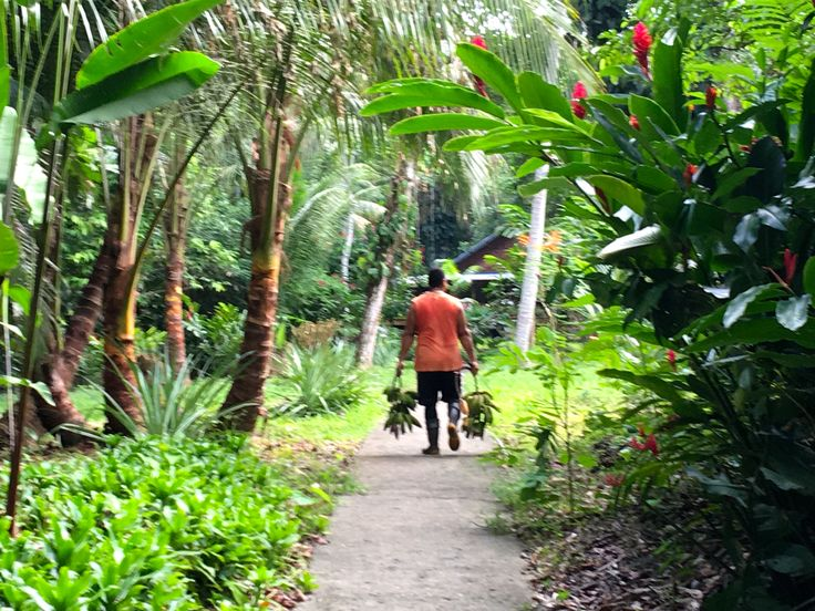 Collecting bananas from our tropical gardens. Be part of the dream at Golfo Dulce Retreat www.gdretreat.com