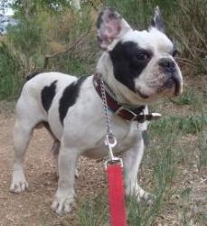 Reggie is an adoptable French Bulldog Dog in Colorado Springs, CO. Hello there! My name is Reggie and I'm a 30 pound, male French Bulldog and I was born in November of 2007. I absolutely adore people ...