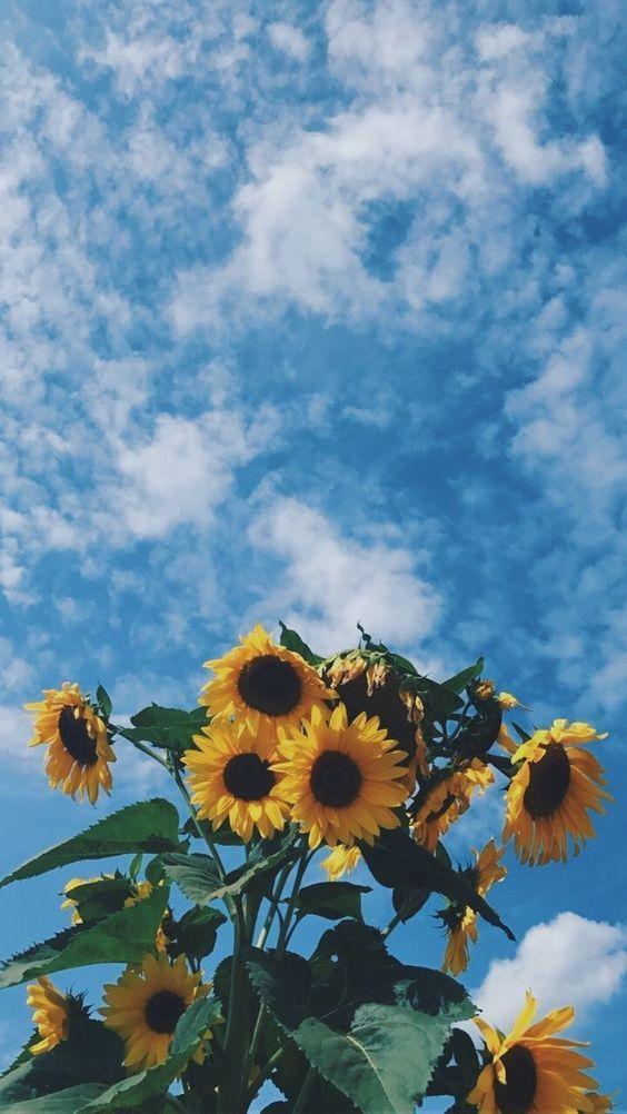 Nuvens E Flores De Girasol