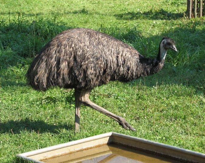 El aceite de Emu y sus propiedades beneficiosas