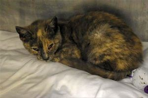 CORNELIA is a 4 month old kitten who has a bad cold, conjunctivitis. She is congested and underweight and needs a foster home where she can get vet care to recuperate. Please offer to foster this kitty today!