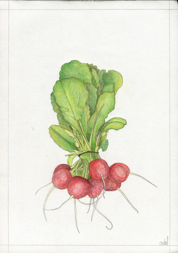 """Radish"", for KUCHNIA magazine, by AROBAL, 2014"