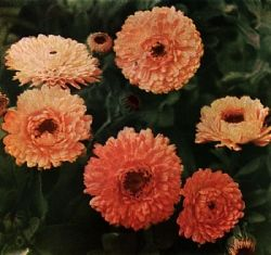 October Birth Flower | The Calendula is October's Birth Flower