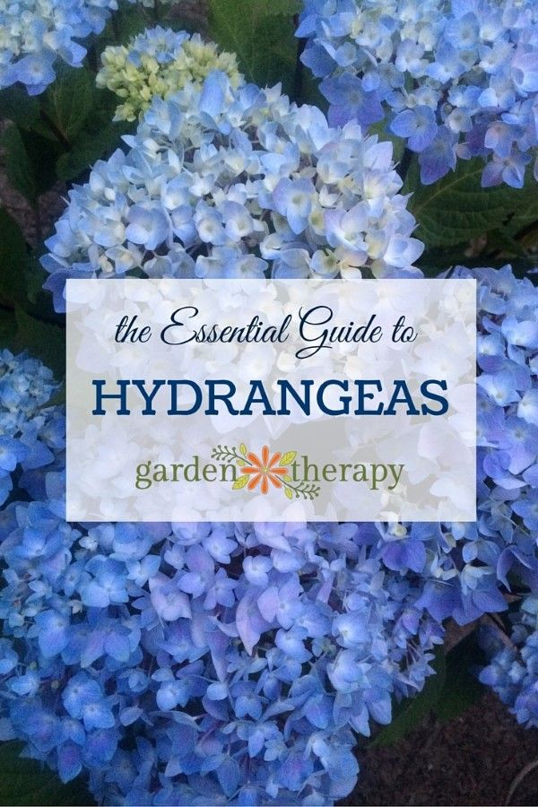 The Essential Guide to Hydrangeas. They are long-living shrubs that bloom most of the summer and well into fall. Here is a guide to all things hydrangea.