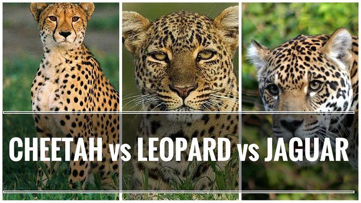 Difference Between Cheetah Leopard And Jaguar Big Cats