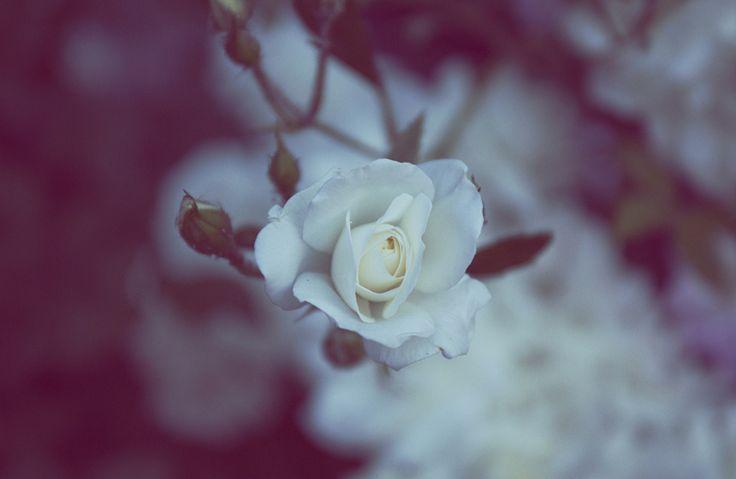 rose by Hajnalka Farkas