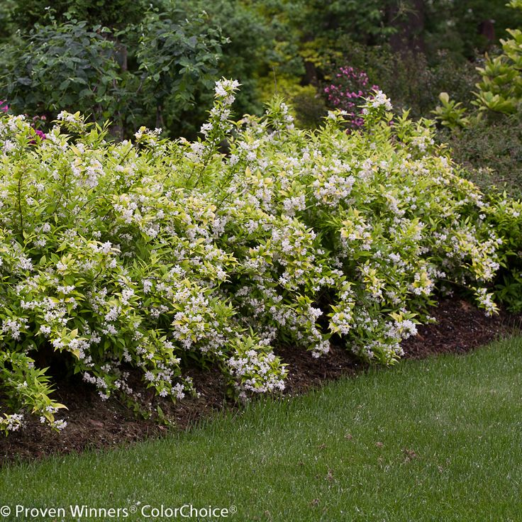 49 best deer resistant flowering shrubs for md dc va On flowering landscape plants