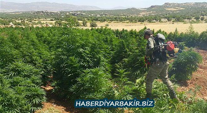 DİYARBAKIR- Diyarbakır 'ın Kocaköy ilçesi Şaklat Köyü 'nde yapılan operasyonda 20 ayrı yerde 465 bin 719 kök Hint keneviri ve 6 kilogram k...