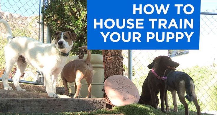 In nature, a pup's mother will quickly teach them not to soil the den. In the human world, we need to take on that challenge if we want to have a happy relationship. In this exclusive video, Andre Millan drops in on Dog Psychology Center trainer Todd Langston for the inside scoop on getting your puppy to do his business outside and the secrets on how to potty train a puppy. Watch now!