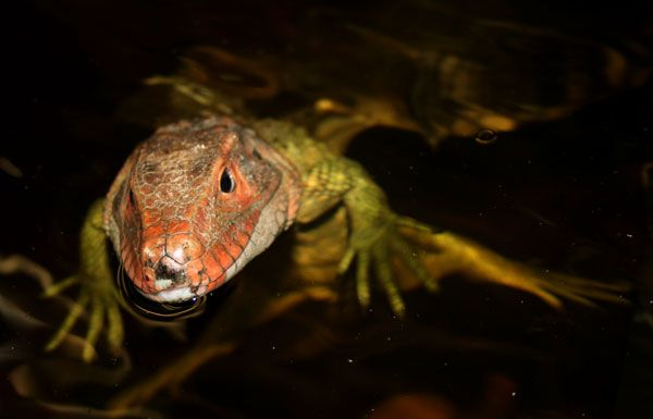 76 best images about Lizards: Monitors & Tegus on ...