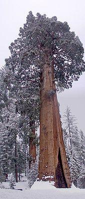 """""""Die Mammutbäume (Sequoioideae) sind eine Unterfamilie der Pflanzenfamilie der Zypressengewächse (Cupressaceae). Diese Unterfamilie umfasst rezent nur drei monotypische Gattungen, das heißt, sie bestehen je aus einer lebenden Art. Fossil sind allerdings zahlreiche weitere Arten überliefert."""" Riesenmammutbaum(Sequoiadendron giganteum),""""General Grant Tree"""""""