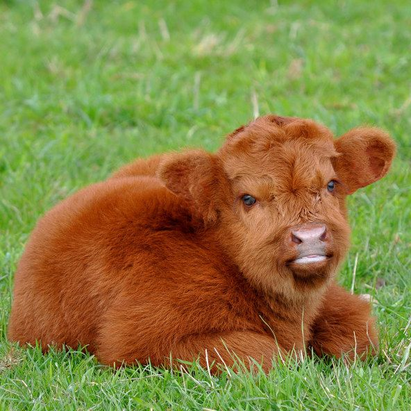 This fluffy little calf... or is it a teddy bear in disguise?