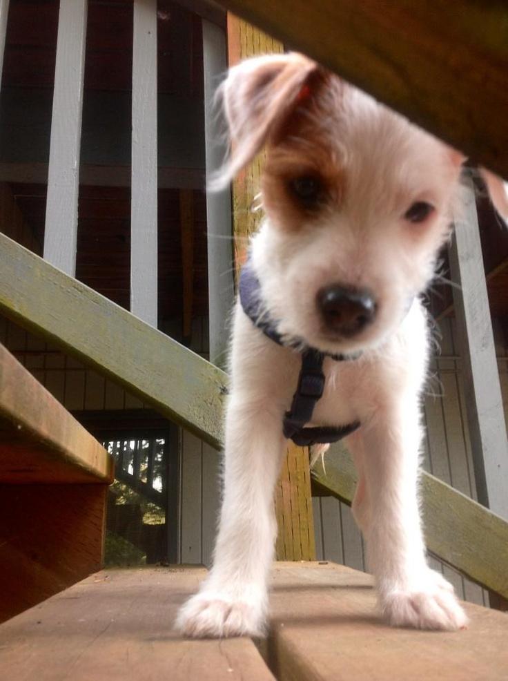 Diesel the Jack Russell Terrier.