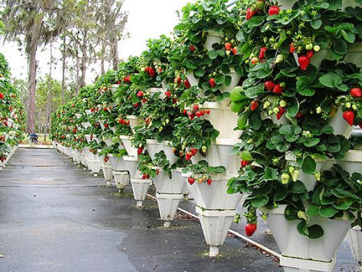 Hydroponic Strawberry garden that is using vertical growing techniques.
