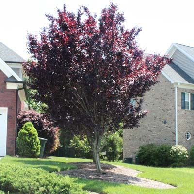 Incredible Crimson Color! Crimson King Maple - Shade tree for corner over patio