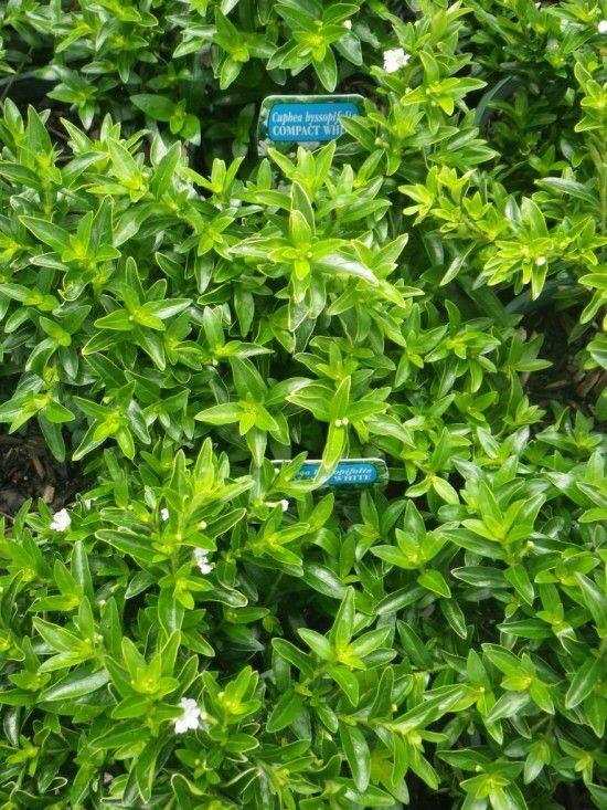 Cuphea - Landsdale Plants