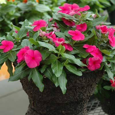Harris Seeds | Vinca Cora Cascade Magenta has large flowers and thick glossy foliage.