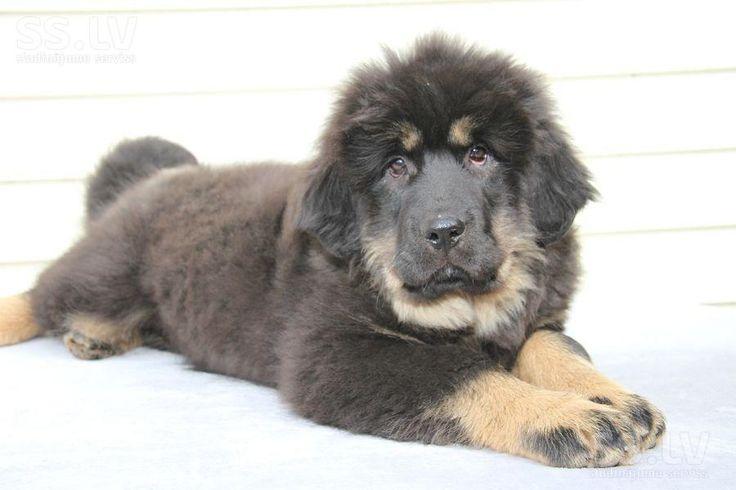 Собаки, щенки Тибетский мастиф, цена 600 €, Фото