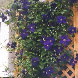 A great primer on Clematis pruning.