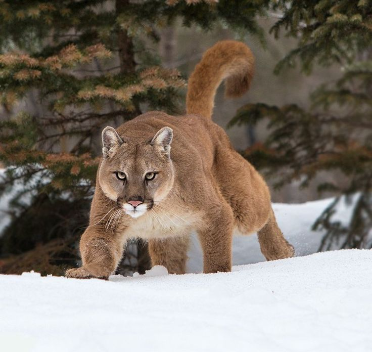 Beautiful Cougar..