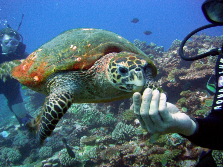 Scuba diving with Green Sea Turtles in Tahiti