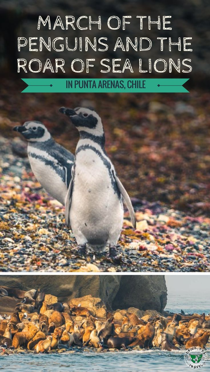 Planning a trip to Chile? Don't forget to add Punta Arenas in your itinerary. It is here in the Strait of Magellan, on Isla Magdalena, that you will find a large colony of Magellanic penguins and see the sea lions at Isla Marta.
