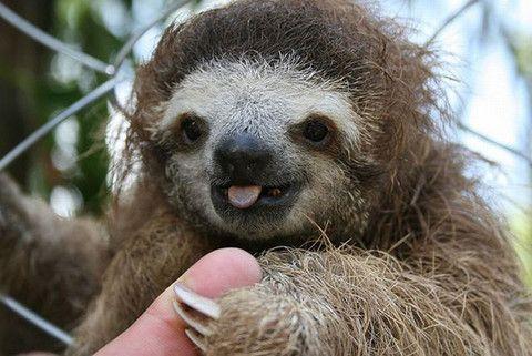 cute amazon rainforest animals. baby sloths u2013 rainforest chica amazon animals pinterest sloth and cute