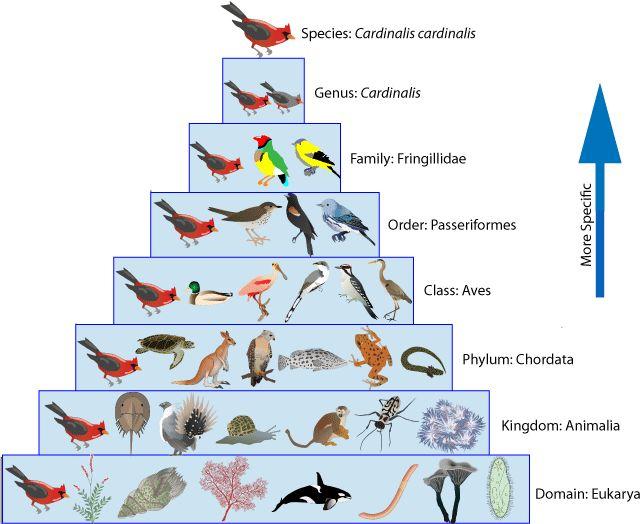 Chimpanzee Taxonomy Best 25+ Taxonomy biol...