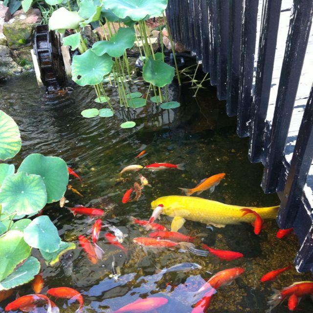 186 best images about koi ponds on pinterest japanese for Koi pool santa