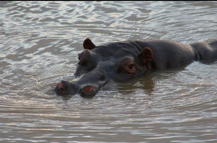 It's a hippo! In st. Lucia.