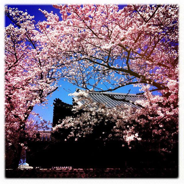 Tokyo cherry blossom, 2012.