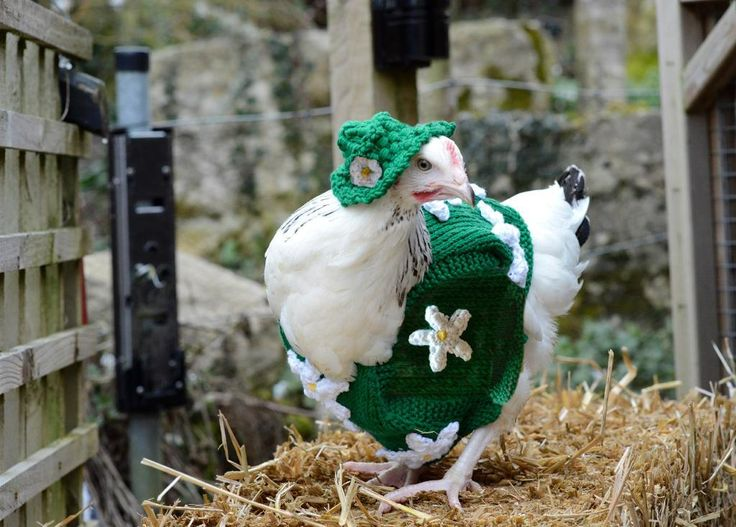 42 best Chickens images on Pinterest   Chicken sweater, Backyard ...