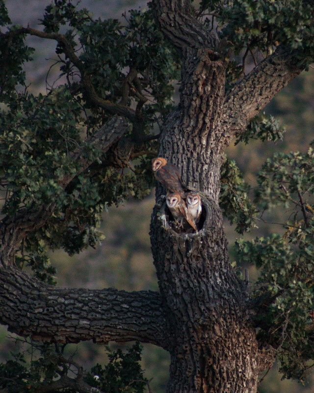 Barn Owls (Part 1 of 4) - July 13 | Flickr - Photo Sharing!