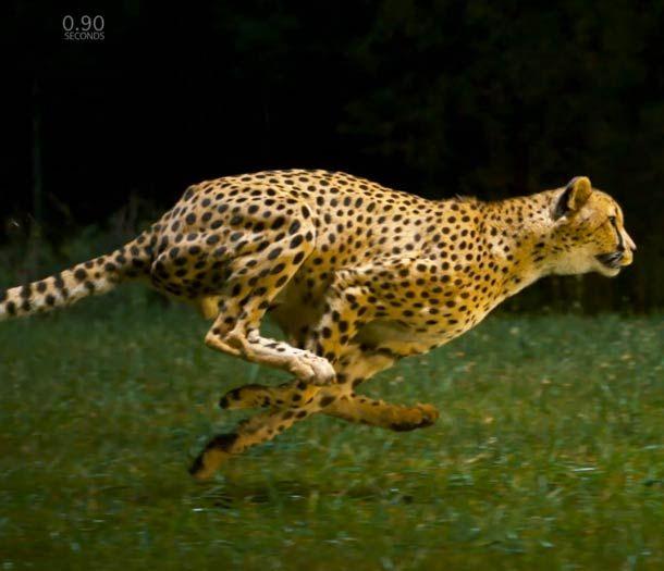 La course du guépard en slow motion