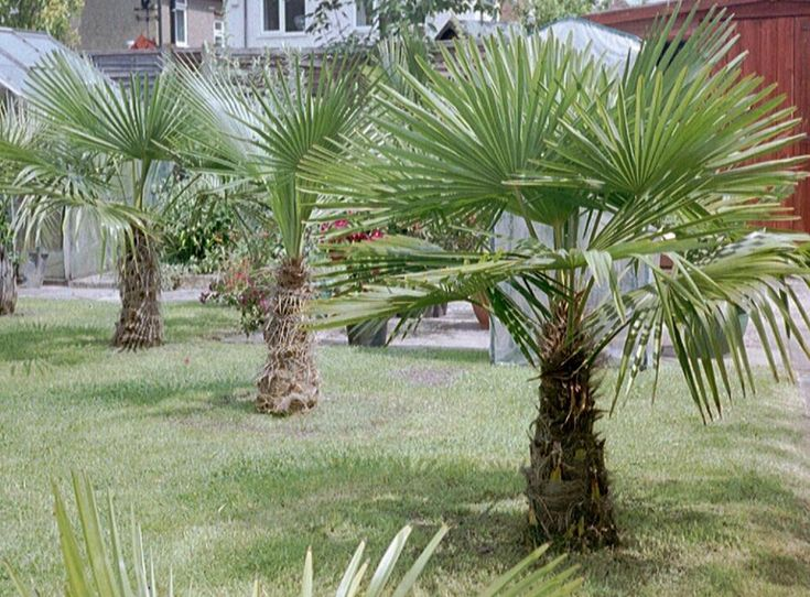 25 best ideas about palm tree types on pinterest small for Small hardy trees