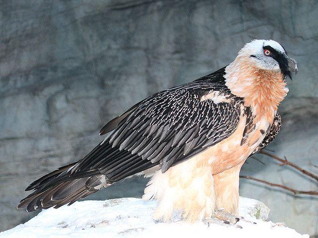 Bartgeier/Lammergeier/Bearded Vulture/(Gypaetus Barbatus)