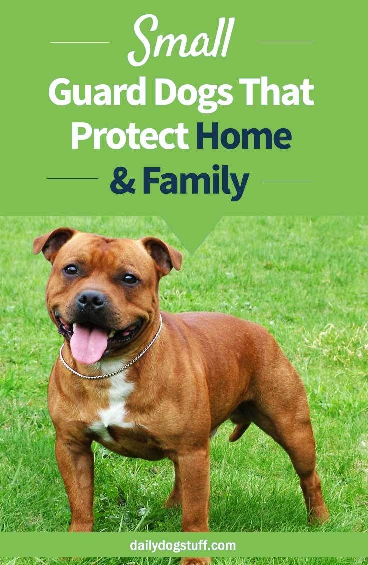 10 Small Guard Dogs Small To Medium Breeds That Protect Home