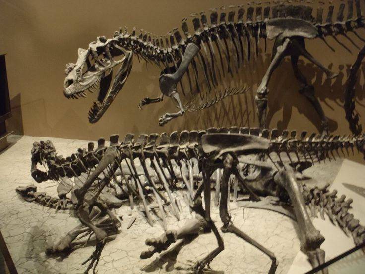 Ceratosaurus. Museum de l'Utah.
