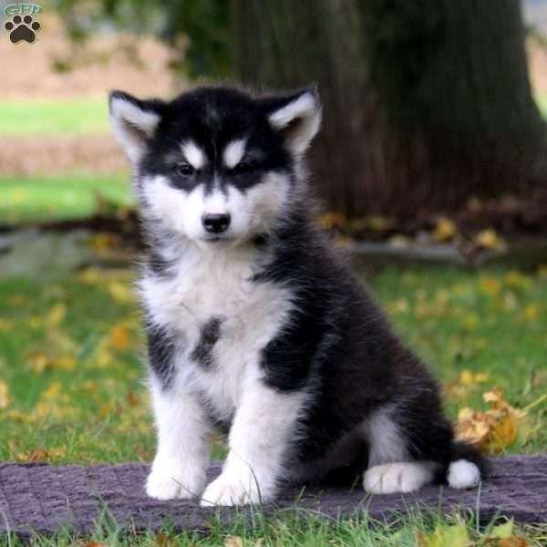 Sonya Alaskan Malamute Puppy For Sale In Pennsylvania Curled