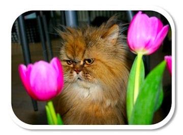 Sassie - My beloved persian cat.