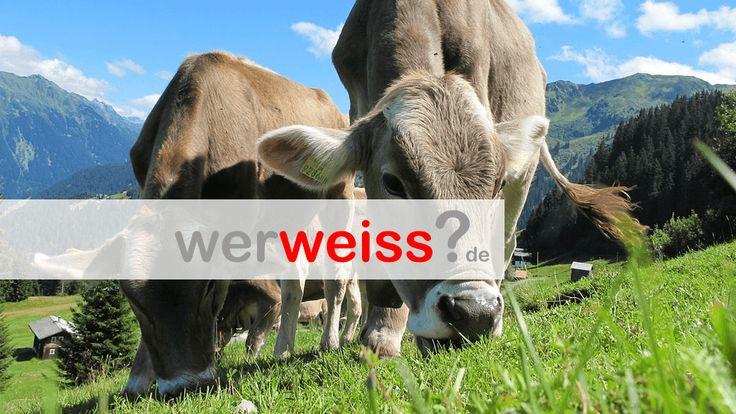 Wie viele Mägen hat eine Kuh?