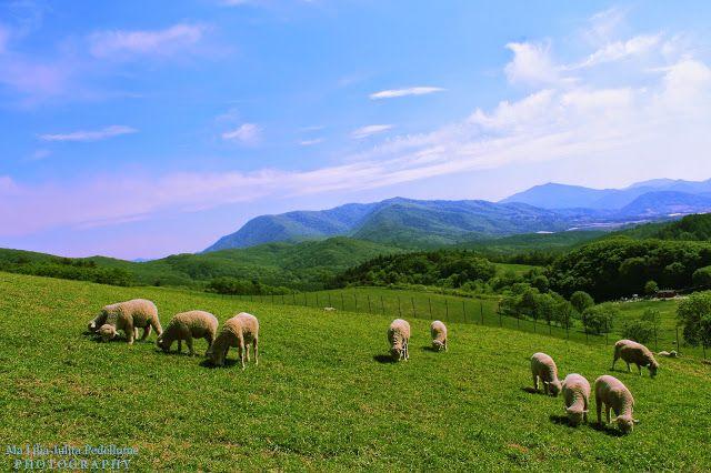 Grindles in Korea: Photography and Adventures: Daegwallyeong Sheep Ranch (한국의 알프스 풍경 대관령 양떼 목장) i...