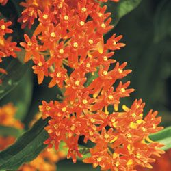 Butterfly Weed - thinking of planting some in my garden