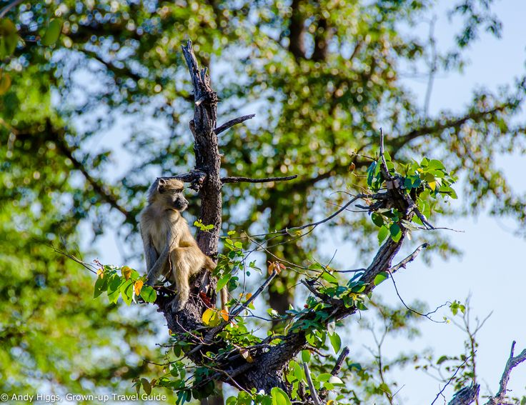 You need to keep an eye out for these guys, especially near the public campsites and entrance gates to the game reserves. This one is keeping watch for his cheeky mates while they get up to all kinds of monkey mischief #botswanasafari2015