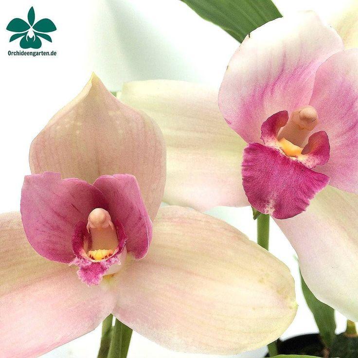 Lycaste Chita Melody x Shoalhaven #orchids #Orchidee #Orchideen #OrchIDEENgarten #orquídea #orquídeas #orchidées #orchidée #orchidej #orchideje #orkid #orkidéer #storczyki #storczyk #nature...
