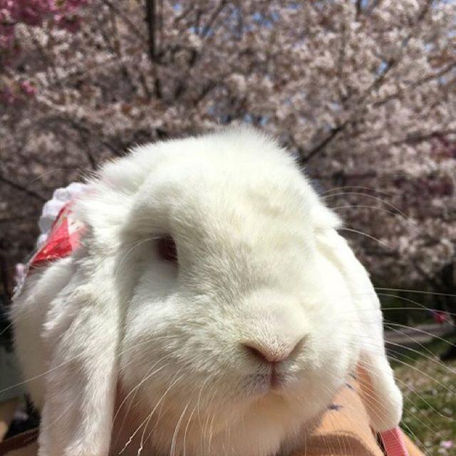 【petit_bonheur0801】さんのInstagramをピンしています。 《今年はIGを始め沢山のフォロワーさん達と出逢えてとっても嬉しかったです☺️🐰🍓💕 ・ いちごちゃんが お月さまに帰ったので お祝い事が言えませんが 来年もどうぞ宜しくお願い致します🌸 #繋がりに感謝 #ありがとう💓 #flower #桜 #sakura #はなまっぷ #はなまっぷ忘年会2016 #ip_blossoms #whim_fluffy #ig_flowers  #うさぎ #rabbit #lapin #ミニロップ #たれ耳 #ルビーアイドホワイト #白兎 #白うさぎ #ふわもこ部 #もふもふ #いちごちゃん6歳 でした》