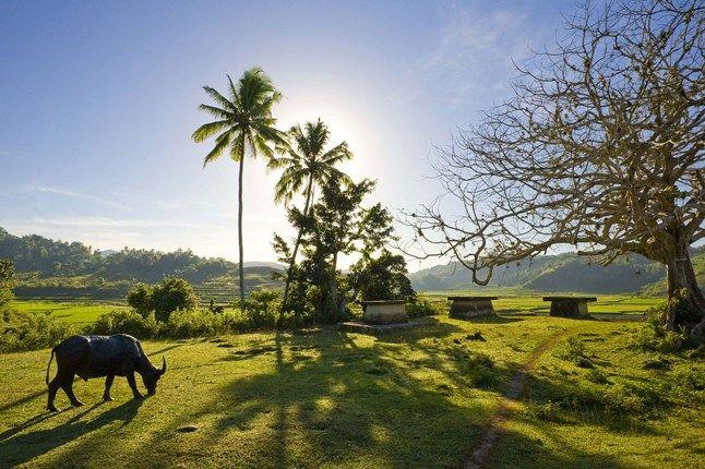 a buffalo grazes on Nihiwatu, Sumba island, Indonesia