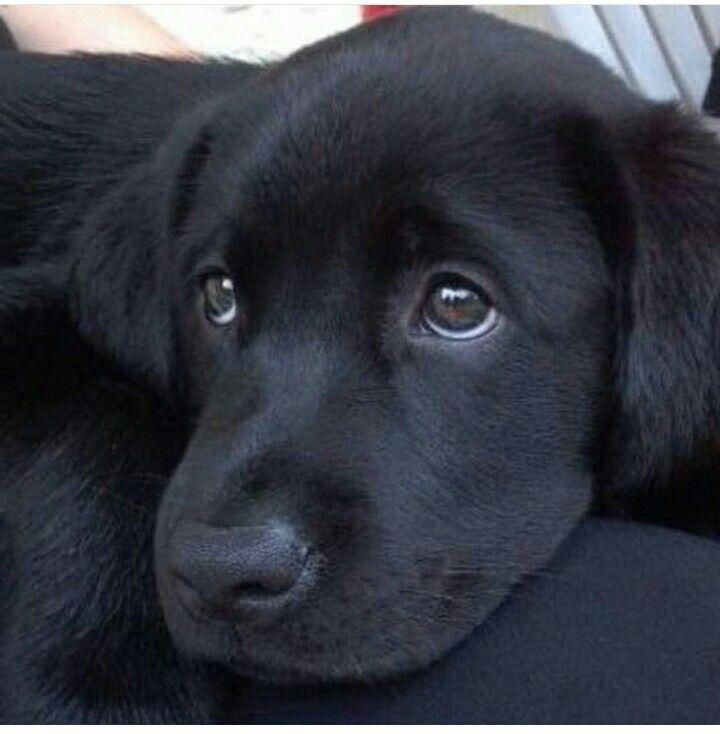 "Lab puppy.  Don't say ""Black Lab"" as if the color makes it a separate breed."